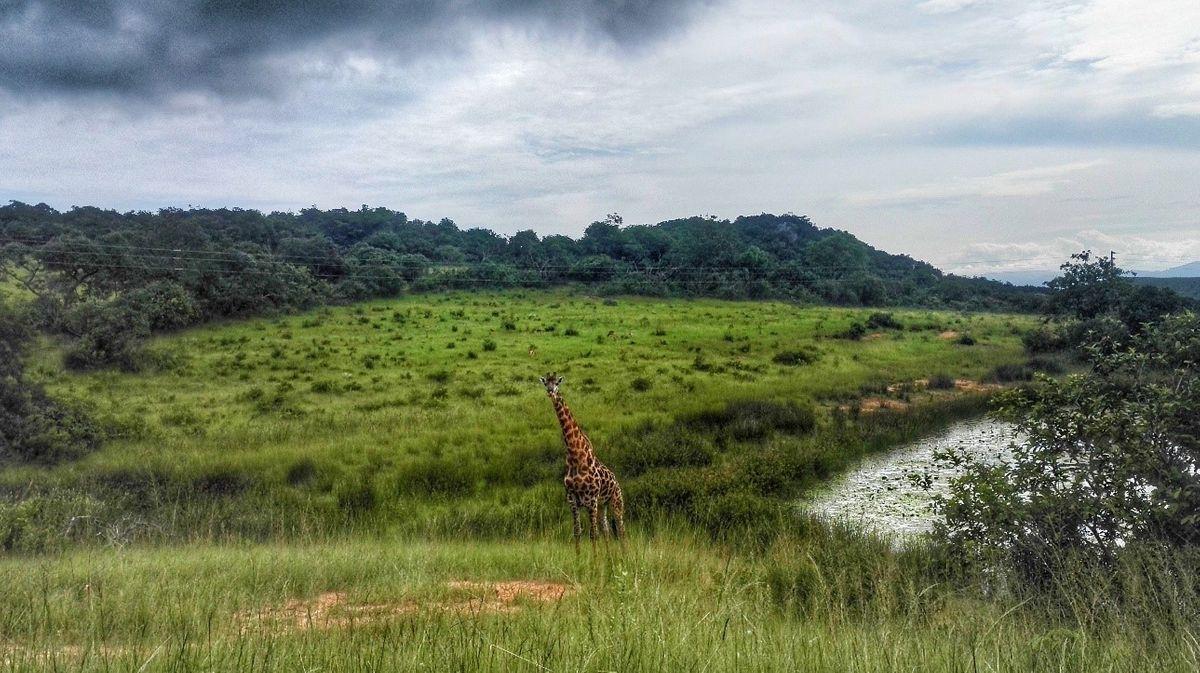 Random zsiráf a Krüger Nemzeti parkon kívül dél-afrikai köztársaság